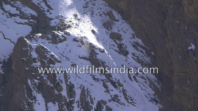 Snow Leopard and prey take deadly tumble off 400 foot cliff, big cat wins! Rarest shot EVER...