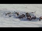 Pack of Wolves vs Bisons || Стая волков против стада бизонов