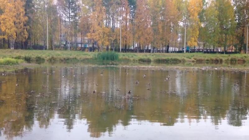 Ухта,дело было осенью,утки плавали в реке и в скором времени готовились к перелету