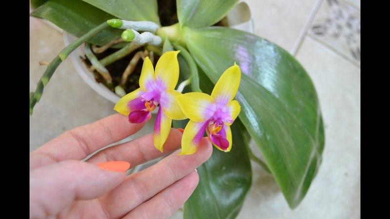 Phalaenopsis LDs Bear Queen