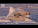 Cool Cute Cubs - Amazing Animal Babies_ Polar Bear Cubs (Ep 6) - Earth Unplugged