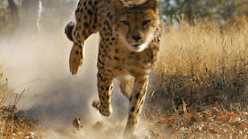 Cheetah practices Hunting for Upcoming Release into the Wild   BBC Earth