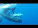 Кашалоты усыновили дельфина-инвалида