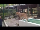 Тайланд,  в Клетке со львами