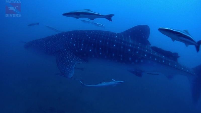 Китовая акула у Акульей скалы архипелага Самесан Дайвинг в Паттайе