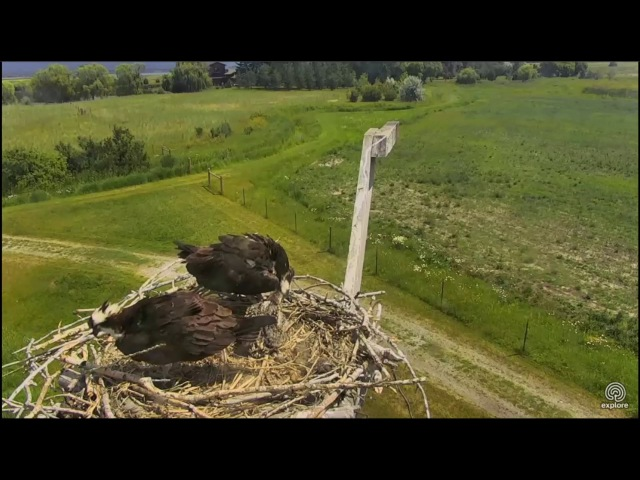 Charlo Montana Osprey Cam ~ Afternoon Fish Delivery, July 6, 2017