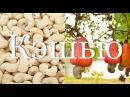 Как обрабатывают орехи кэшью и делают фенни