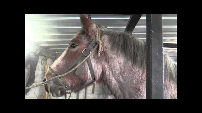 Hot shoeing a Belgian Draft Horse by farriers Ludo Daems and Stenn Schuermans