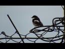 Мухоловка пеструшка Весенние заботы Flycatcher lemming Spring cares