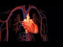 7.3 Сердце (8 класс) - биология, подготовка к ЕГЭ и ОГЭ 2017