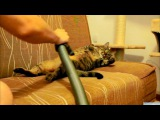 Cat Really Loves Being Vacuumed #coub