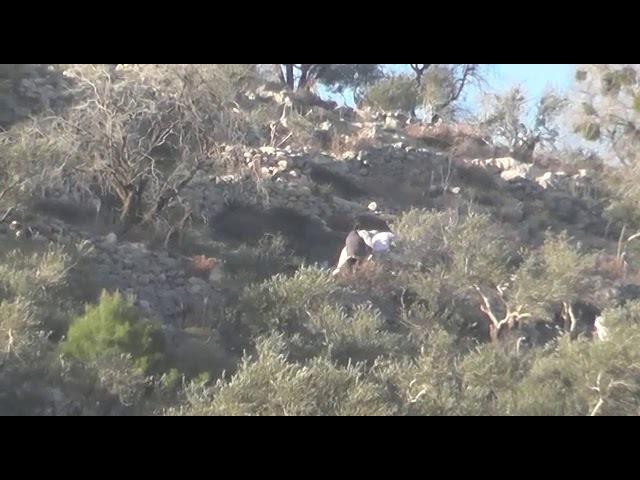 מתנחלים משחיתים עצים של פלסטינים ליד יצהר 13.