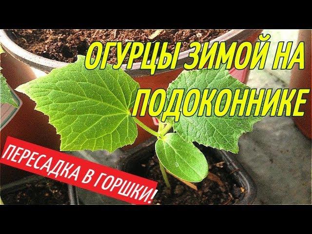 ОГУРЦЫ ЗИМОЙ НА ПОДОКОННИКЕ/ПЕРЕСАДКА В ГОРШКИ.
