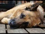 Эпилепсия у собак  Epilepsia en Perros