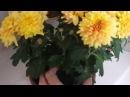 Цветник на окне Часть 2 Как пересадить цветущее растение Хризантема