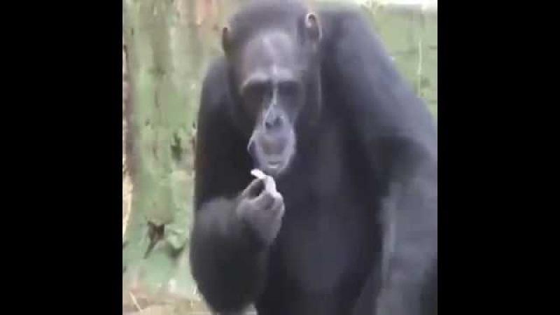 Efkarlı Maymun sigara içiyor (komik maymun videoları)