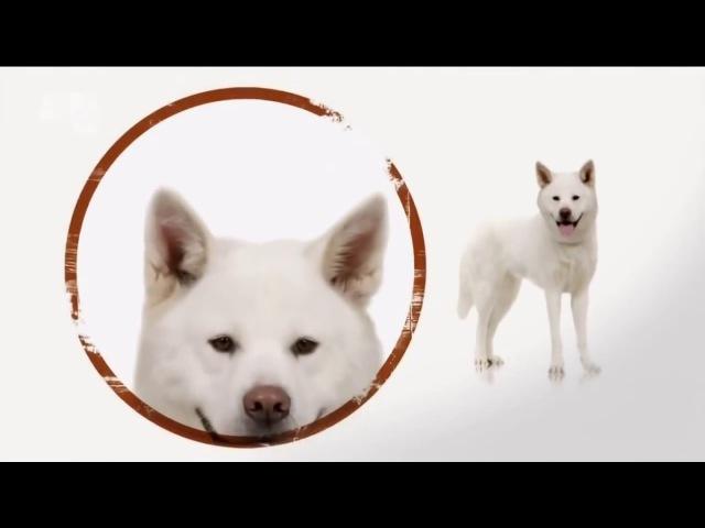 Акита ину. Введение в собаковедение