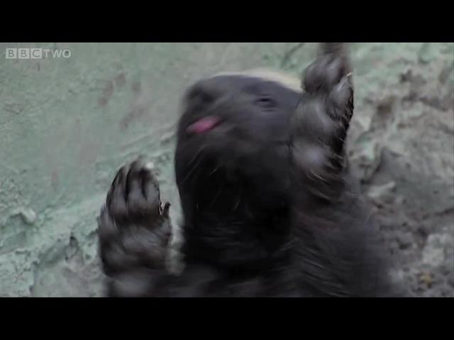 NIGGAS_SWAG · Honey_badger Ratel Медоед Mellivora_capensis
