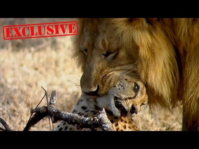 КОШАЧЬИ ВОЙНЫ ЛЕВ ПРОТИВ ГЕПАРДА Эксклюзив - Документальный фильм 2018 на Amazing Animals TV
