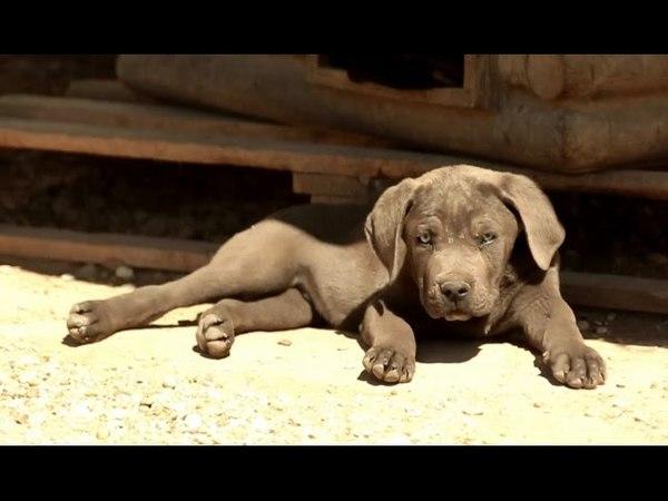Кане корсо Планета собак 🌏 Моя Планета