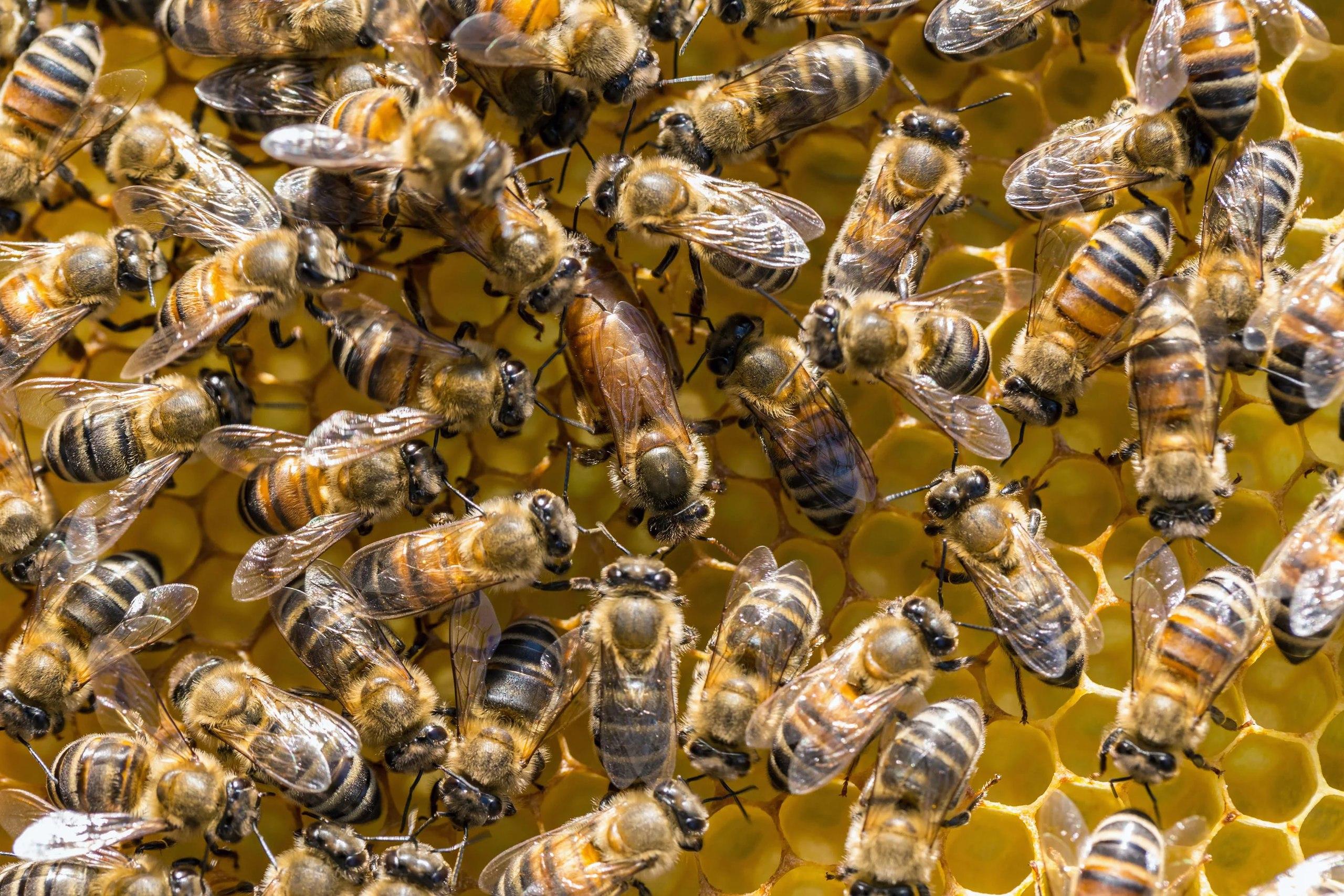 Статья - Естественное исцеление — пчелы и мёд манука