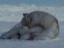 [v-s.mobi]Красивый клип про волков.flv.3gp