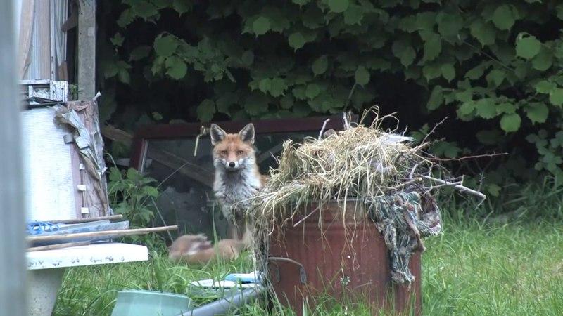 Мои лесные соседи . Рыжая семейка . Fox and 6 Cute Fox/( Продолжение следует)