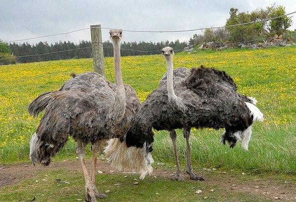 Разводить страусов бизнес план бизнес план телекоммуникация