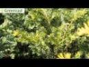 Тис ягодный Элегантиссима - видео-обзор от Greensad
