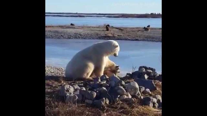 Ariu Polar nuk ndalet duke e përkëdhel qenin - Polar bear can't stop stroking dog