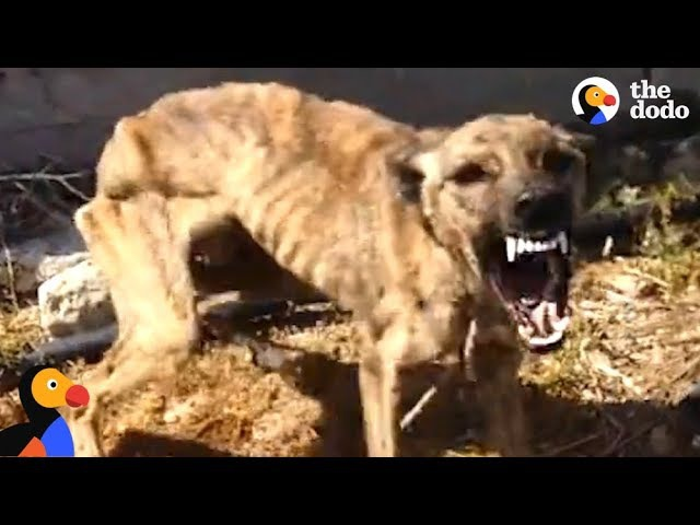 Starved, Scared Dog is Transformed By Love   The Dodo