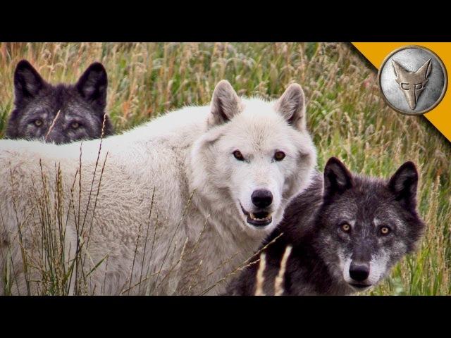 СТАЯ ВОЛКОВ встретила КОЙОТА Полярные волки в Монтане Brave Wilderness на русском