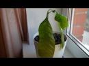 Выращиваем манго