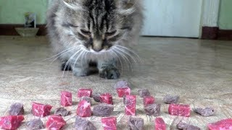 Raw or boiled beef meat? What does the cat like to eat?