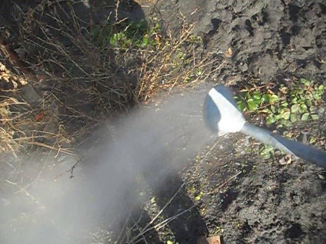Обработка кипятком крыжовника и смородины от мучнистой росы
