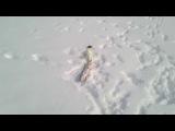 Горностай пытается утащить щучку