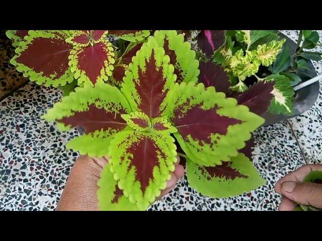 466 - How to grow coleus from cutting coleus को कटिंग से कैसे लगाएं (Hindi Urdu) 3817