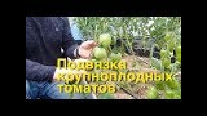 Подвязка крупноплодных томатов