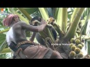 AWESOME VIDEOS ! Toddy MAN !! palm Tree Climber