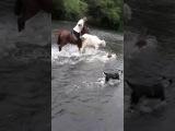 Vaca rescatada de la monta
