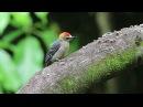 Hoffmann Woodpecker (Melanerpes hoffmannii)