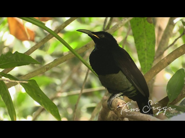 Victoria's riflebird / Щитоносная райская птица Виктории / Ptiloris victoriae