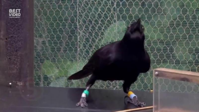 Тот случай когда ворона умнее тебя