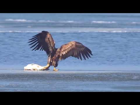 Орел поймал крупную рыбу
