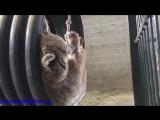 Милейшее видео с медведем