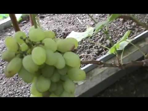 Продажа саженцев Уральского винограда