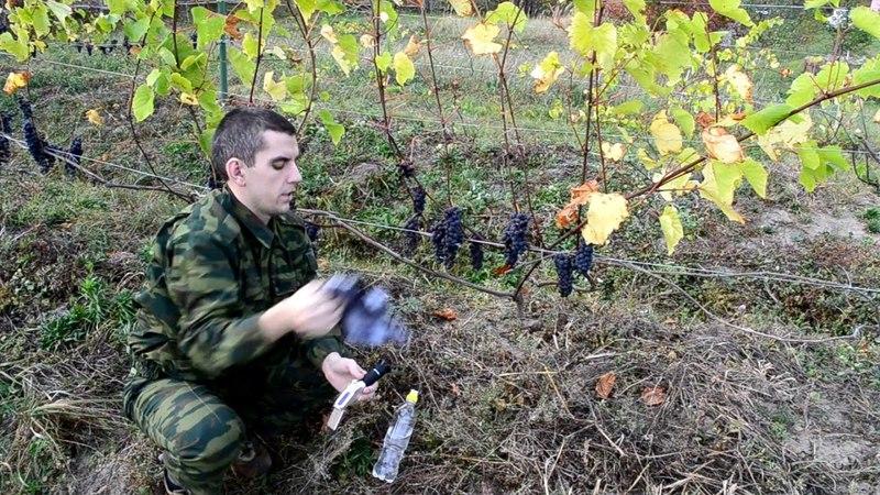 Измерение сахаристости винограда ручным рефрактометром