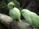 Попугаи разговаривают