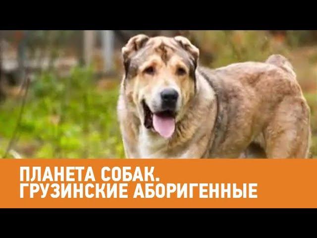 Грузинские аборигенные собаки Планета собак 🌏 Моя Планета
