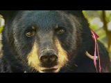 Bear Charges Gordon to make him back off BBC Earth